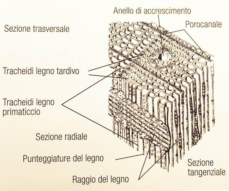 struttura-microscopica legno conifera